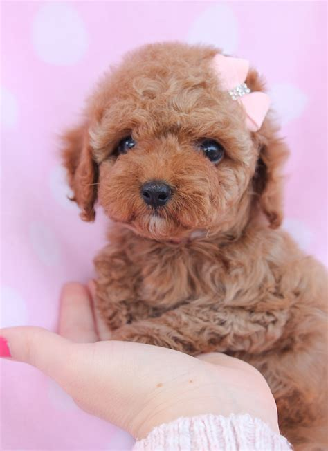 dogs for sale cumbria toy for dog toy for dog toy poodle puppy for sale in south florida adorable pets