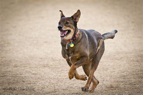 half wolf half rottweiler half rottweiler half german shepherd puppy breeds picture