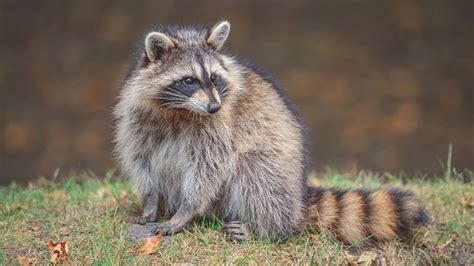wildlife of british columbia 13 species to look out for