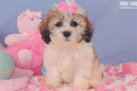 puppies for sale in washington dc the 25 best shichon puppies for sale ideas on teddy pics