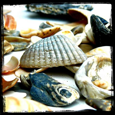 17 best images about shells 17 best images about obx shells on conch