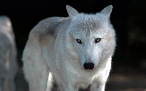 Topi Jaringtrucker Wolf Hight Quality wolf awesome hd wallpapers pictures high quality all hd wallpapers