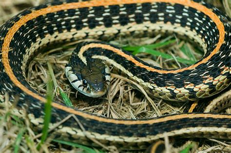 Garter Snake Facts Garter Snake Facts Information Motorcycle Review And