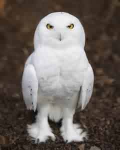 snowy barn owl snowy owl keeper talk