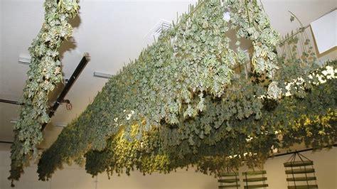 master  art  drying  curing cannabis cannabis