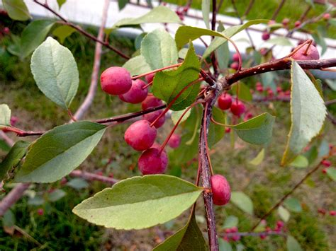 what is the name of this tree are the berries edible snaplant com