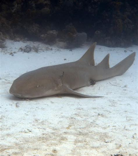 Requin Dormeur by Photo Le Requin Nourrice 233 Galement Appel 233 Requin Dormeur