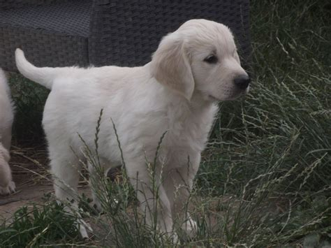kc golden retriever puppies quality kc golden retriever puppies rotherham south pets4homes