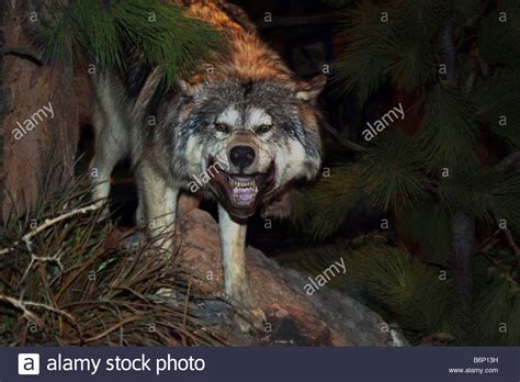 Angry Wolf angry wolf stock photo 21382133 alamy