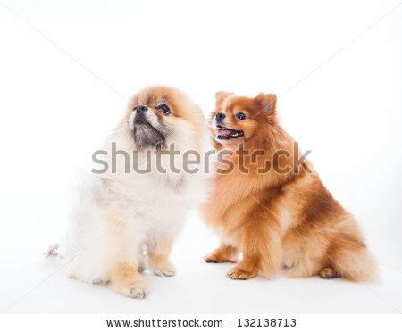 pomeranian animal planet animal planet dogs 101 chow chow breeds picture