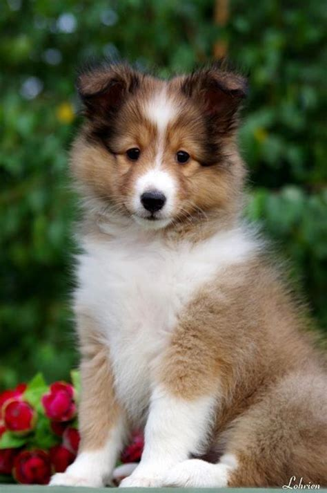 free sheltie puppies 253 best images about shelties on names shetland sheepdog and best dogs