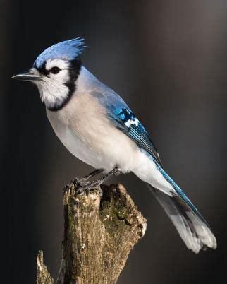 18 Best Ideas About At My Feeder On Pinterest Wild Blue Bird On Neck
