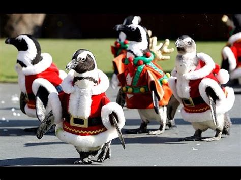 penguins dressed  santa claus  japanese zoo celebrate  holiday season incredible