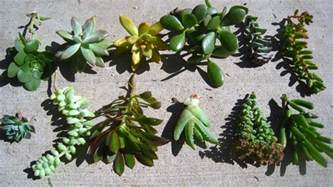 little lovables homefront succulent succulents