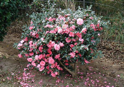 flowering shrubs for fall flowering shrub flickr photo