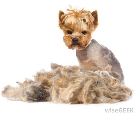 what is a yorkie what is a terrier with pictures
