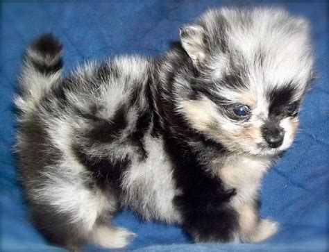 blue pomeranian puppies sprinkles blue merle pomeranian puppy and they call it puppy