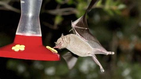 bats in backyard how to photograph bats in your backyard mnn mother nature network