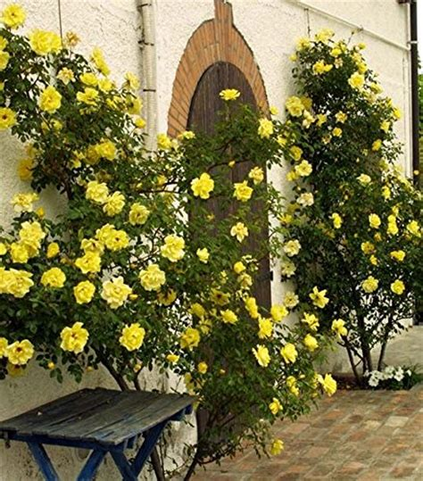 Pictures Of Golden Showers by Best Roses To Use In An Archway Or Trellis Foodie