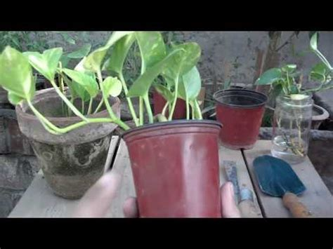 Make Plant - money plant maintenance how to make your money grow fast