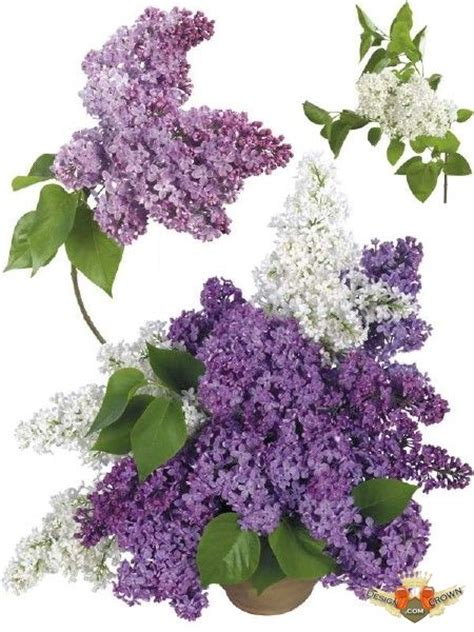 lilac clipart lilac white flowers compositions and single png jpeg