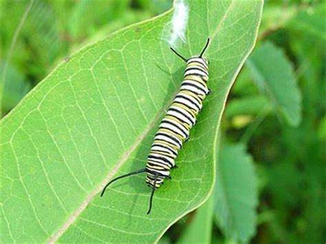 monarch butterflies are in trouble national wildlife
