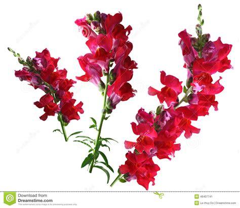 foto fiore bocca di fiore rosso di bocca di immagine stock immagine di