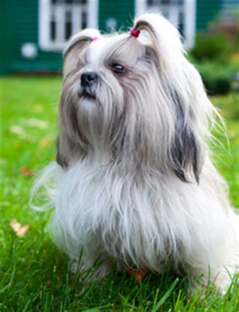 shih tzu breathing shih tzu brachycephalic airway obstruction baos ufaw