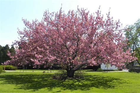 1 cherry tree groveland ma malattie ciliegio parassiti e malattie cura pianta ciliegie