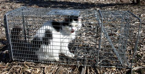 stray cat trap cats taking toll on tweed fauna echonetdaily