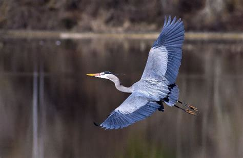 great blue heron animal facts and information
