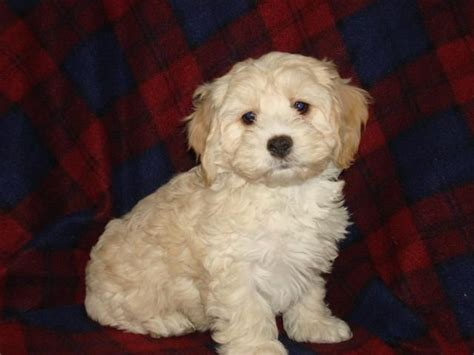 cockapoo puppies wisconsin 25 best ideas about cockapoo breeders on cockapoo pups for sale cockapoo