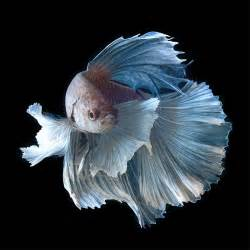top 8 things to know about siamese fighting fish with