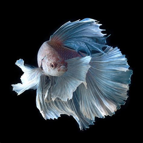 portraits of siamese fighting fish by visarute angkatavanich colossal