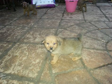 rottweiler x lab rottie x lab for sale brandon suffolk pets4homes