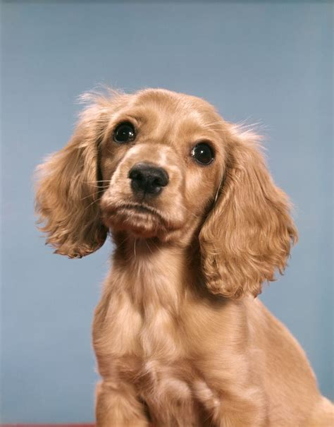 Cocker Spaniel Dog Breed Information, Pictures ...