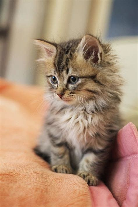 cuddly breeds 25 best ideas about kitten breeds on cat facts types of cats and cat types