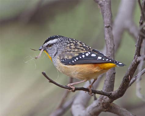 tom clark jj harrison birds of tasmania and queensland