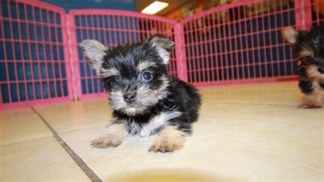 teacup yorkie puppies for sale in ga charming teacup yorkie puppies for sale in at puppies for sale local breeders