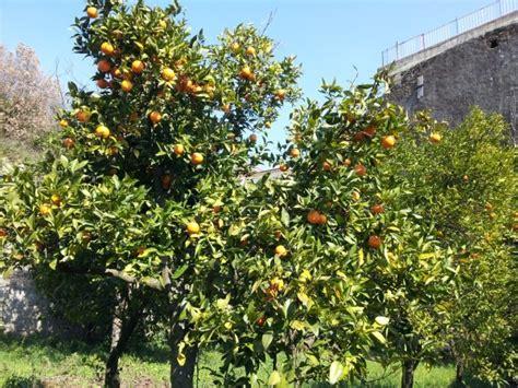 potatura arancio in vaso potatura degli aranci