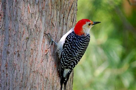 what do woodpeckers eat joy of animals