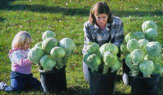 Cabbages are stored most successfully by being replanted in groups in