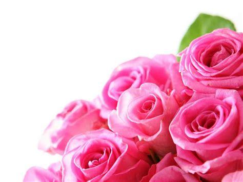 gambar bunga mawar pink   pernik dunia