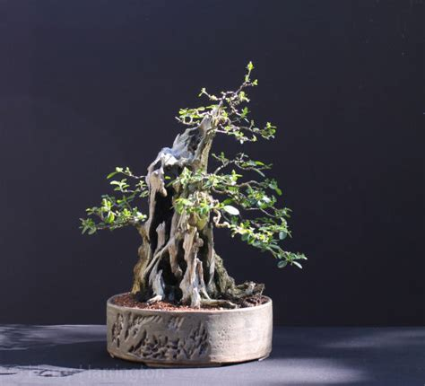Handmade Bonsai Pots For Sale - privet bonsai progression