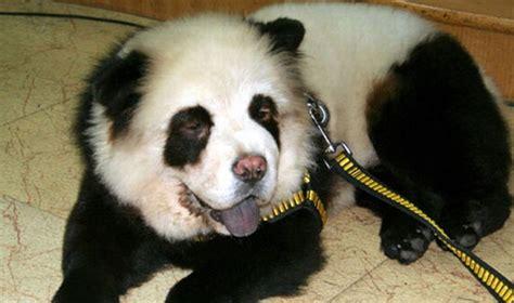 panda puppies panda memes