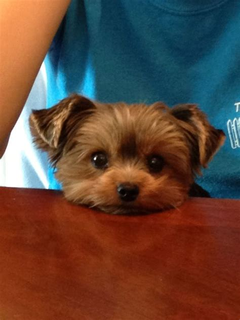 most popular haircut for morkie dogs 12 best morkie haircuts images on pinterest yorkies