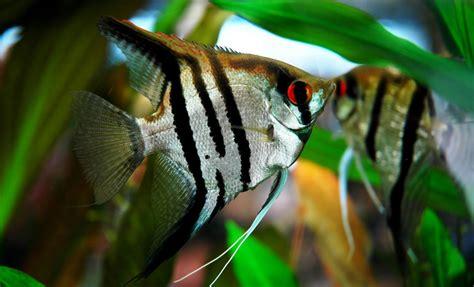 le scalaire ou pterophyllum scalare poisson ange de nos aquariums d eau douce animogen