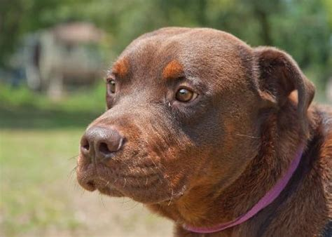 chocolate rottweiler zeus the chocolate rottweiler mix s web page