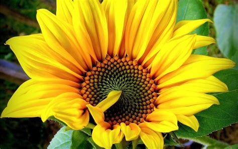imagenes de whatsapp de flores im 225 genes de flores de girasol para perfil de whatsapp