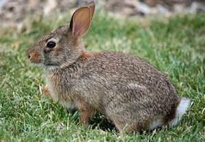 zone chassez le lapin 224 queue blanche au qu 233 bec